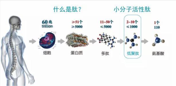 小分子活性肽.jpg